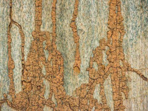 termite-mud-tube