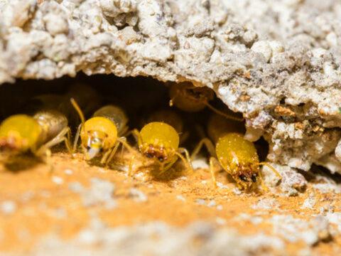 dangerious-termites