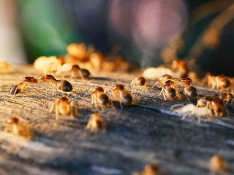 can-termites-heard-featured-img